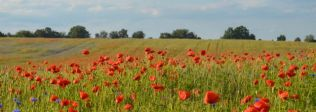 A field full of poppies on the way to Rostock.