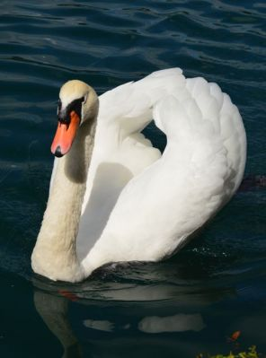 More swans....