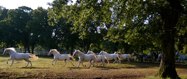The horses being let out to pasture