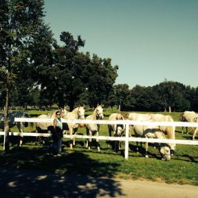 Meeting the Lipizzaners