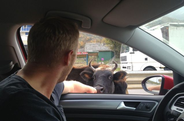 Welcomed by a cow at the border crossing.