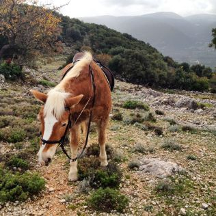 A haflinger horse, small but sturdy!
