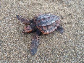 We found this baby loggerhead exhausted on the beach, we think the storm had washed him up. Sadly I don't think he was going to make it :(