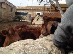 Meeting cows . Verdict - friendly.