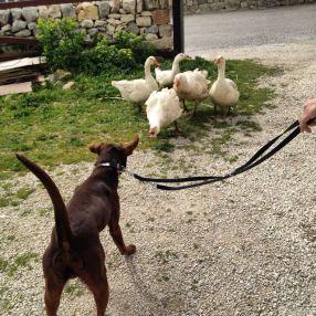 Meeting geese. Verdict - not friendly.